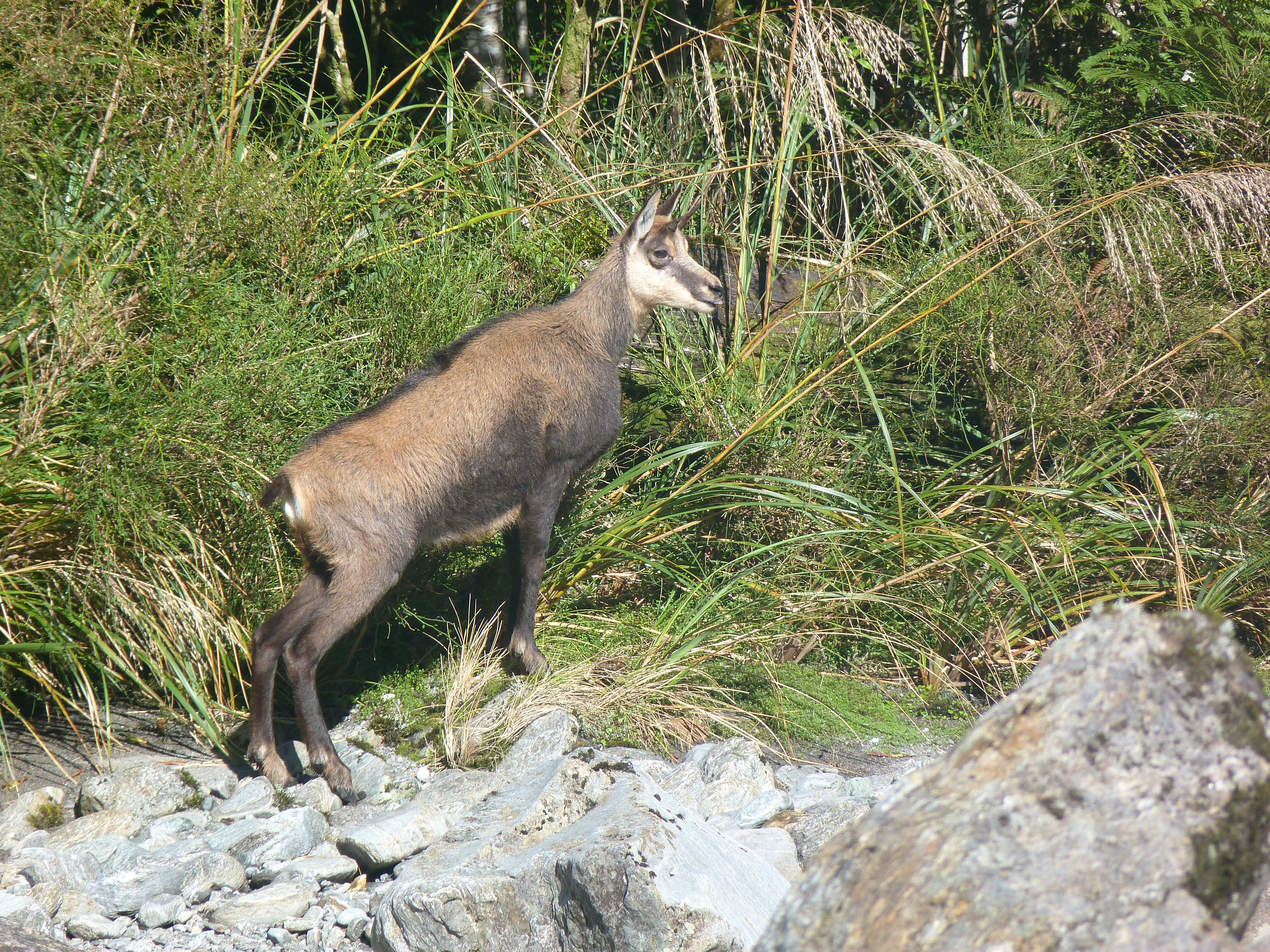 Chamois mature buck